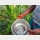 GIHETA : ATTAQUE DES CHENILLES LEGIONNAIRES A KABANGA
